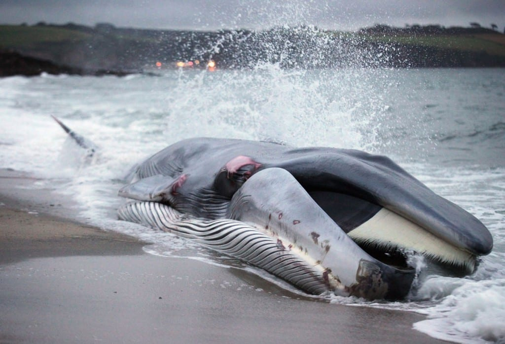 60 Foot Whale Stranded On NY Beach
