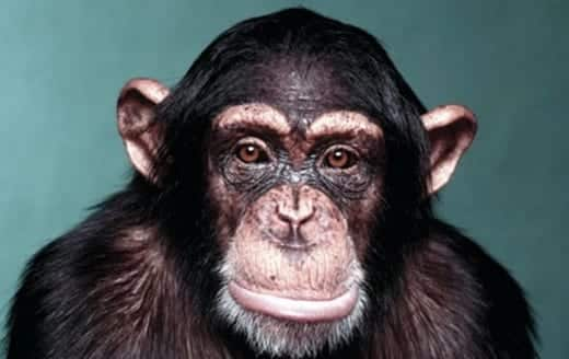 NIH ends U.S. use of chimpanzees for medical research